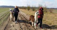 Bild Alpaka Wanderung bei Berlin