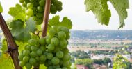 Bild Weingenuss auf schmaler Spur in Radebeul
