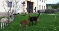 Bild Alpaka Wanderung bei Gera