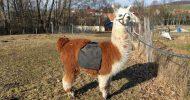 Bild Lama Wanderung bei Görlitz