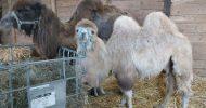 Bild Kamelreiten bei Görlitz
